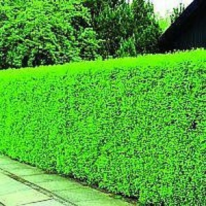 Liguster (Ligustrum vulgare 'Liga') - (LEVERING FRA 5.OKT) -2 års planter 80-120 cm 4 til 6 grene