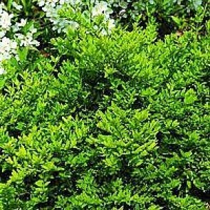 Myrte gedeblad (Lonicera nitida 'Maigrün') - P 10,5