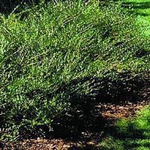 Liguster gedeblad (Lonicera pileata) - P 10,5