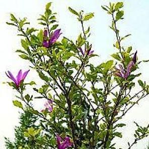 Magnolia (Magnolia 'Susan') - Buske i potte 60-80