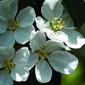 Paradisæble (Malus 'Braendkjaer') -Træ i potte 150-175 cm
