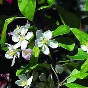 Paradisæble (Malus 'Gorgeous') -Træ i potte 150-175 cm