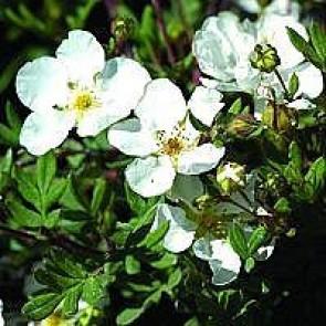 Buskpotentil (Potentilla fruticosa 'Abbotswood') - Barrodet hæk 30-50 3 års