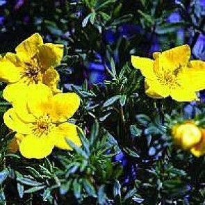 Buskpotentil (Potentilla fruticosa 'Goldfinger') - Barrodet hæk 30-50 3 års