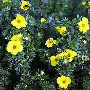 Buskpotentil (Potentilla fruticosa 'Kobold') - Barrodet hæk 20 - 40 cm. 3 års
