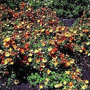 Buskpotentil (Potentilla fruticosa 'Red Ace') Buske i 3,5 liters potte