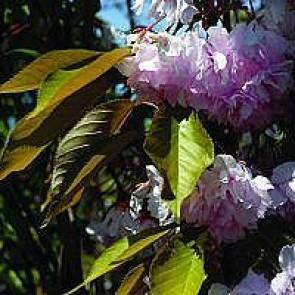 Opret japansk kirsebær (Prunus serrulata 'Kanzan') - Podet træ på 180 cm stamme