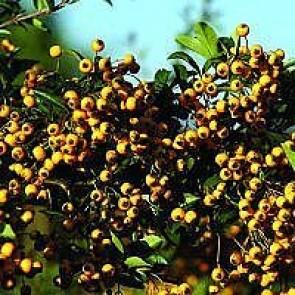 Ildtorn (Pyracantha 'Soleil d'Or') - Busk i 3,5 liter potte