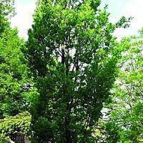 Pyramide-eg (Quercus robur 'Fastigiata') -Træ i potte 175- 200 cm