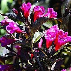 Klokkebusk (Weigela florida 'Alexandra') - Buske i 5 liters potte
