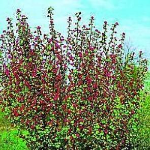 Blodribs (Ribes sanguineum 'Atrorubens') Buske i 5 liters potte