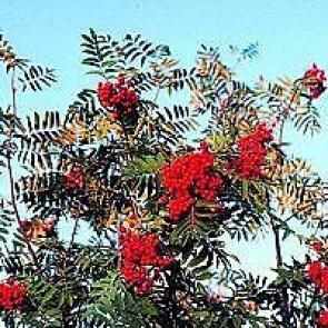 Almindelig røn (Sorbus aucuparia) - Træ i potte 150-175 cm