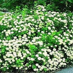 Birkebladet Spiræa (Spiraea betulifolia) - Hæk barrodet 20 - 40 cm. 3 års