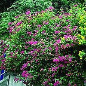 Spiræa (Spiraea japonica 'Anthony Waterer') - Barrodet hæk 30 - 50 3 års