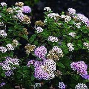 Spiræa (Spiraea japonica 'Little Princess') - Barrodet hæk 15-30 3 års