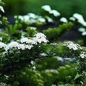 Spiræa (Spiraea nipponica 'Snowmound') - Buske i 3,5 liters potte