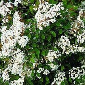 Buketspiræa (Spiraea vanhouttei) - Hæk barrodet. 3 års planter 40-60 cm 3 års