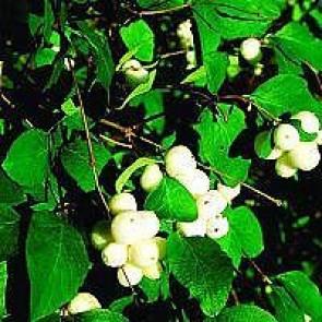 Snebær (Symphoricarpos doorenbosii 'White Hedge') - Buske i 3,5 liter potte