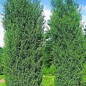 Almindelig ene (Juniperus communis 'Hibernica') - CO/MK 40-50 cm