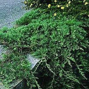 Enebær (Juniperus horiz. 'Glauca') - CO 20-25 cm.