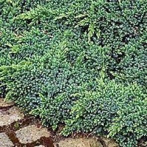 Blå enebær (Juniperus squamata 'Blue Star') - 2 liter potte 15-20 cm