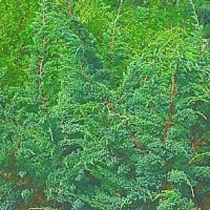 Blå enebær (Juniperus squamata 'Meyeri') - 2 liter potte 30-40 cm