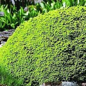 Dværggran (Picea abies 'Little Gem') - C 2,0 15-20 cm