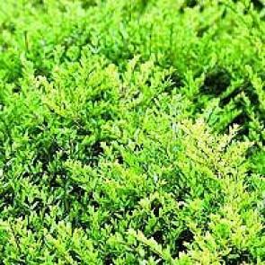 Myrte gedeblad (Lonicera nitida 'Elegant') - P 10,5