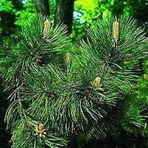 Østrigsk fyr (Pinus nigra) -5 liter potte 50-60 cm