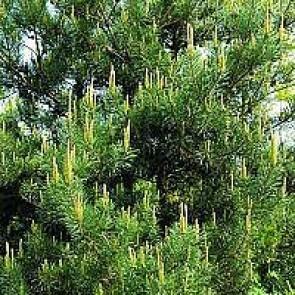 Skovfyr (Pinus sylvestris) - Med jordklump 80-100 cm