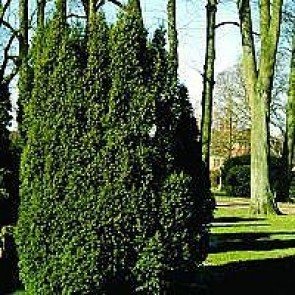 Almindelig taks (Taxus baccata ) - Med jordklump 80-100 cm
