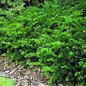 Krybende taks (Taxus baccata 'Repandens') - 2 liter potte 25-30 cm