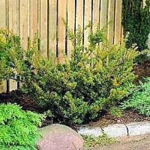 Taks (Taxus media 'Farmen') - Med jordklump 50-60 cm