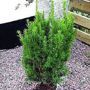Taks (Taxus media 'Hillii') - 1 liter potte 30-50 cm