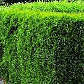 Thuja (Thuja occidentalis 'Smaragd') - Med jordklump 80-100 cm