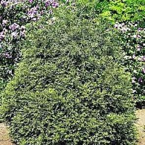 Hønsebenstræ (Thujopsis dolabrata) - 3,5 liter potte