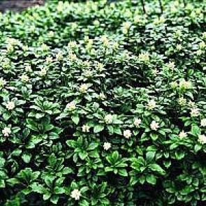 Vinterglans (Pachysandra terminalis 'Green Carpet') - P 10,5