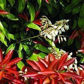 Pieris (Pieris japonica 'Mountain Fire') - 2 liter potte 20-25 cm