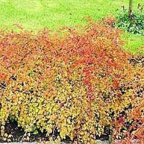 Kranstop (Stephanandra) - Plante i 2 l potte