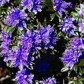 'Azurika' (Rhododendron 'Azurika') - Buske i 2 liters potte 20-25 cm