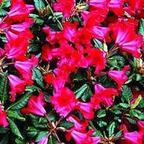'Baden-baden' (Rhododendron 'Baden-baden') - Buske i 2 liters potte 20-25 cm