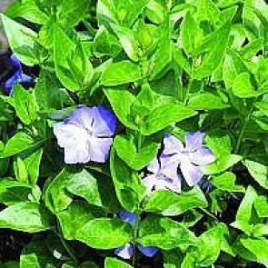 Stor singrøn (Vinca major) - P 10,5