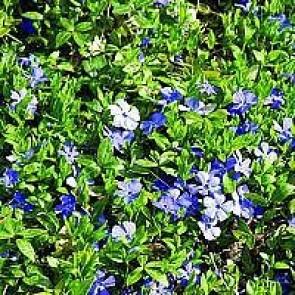 Vintergrøn (Vinca minor 'Bowles Variety') - I 10½ cm potte