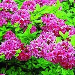 Azalea  'Homebush' (Rhododendron 'Homebush') - Buske i 5 liters potte 40-50 cm