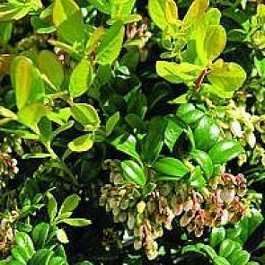 Tyttebær 'Koralle' (Vaccinium vitis-idaea 'Koralle') - CO