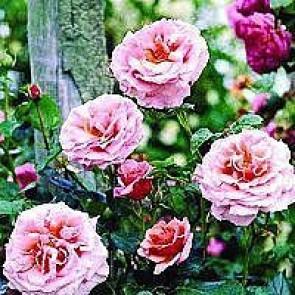 Slyngrose (Rosa 'Aloha') - Barrodsrose A-kvalitet - Sælges kun i bundter á 5 stk