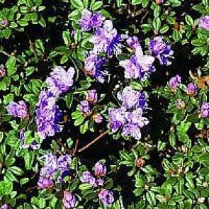 'Ramapo' (Rhododendron 'Ramapo') - Buske i 2 liters potte 20-25 cm