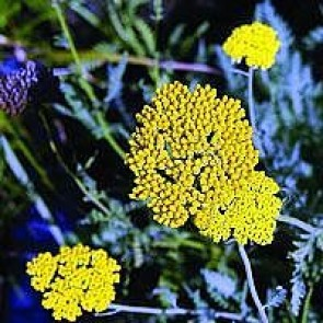 Pragtrøllike (Achillea filipendulina 'Coronation Gold') - Staude i 1 liter potte