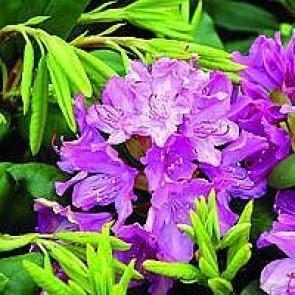 'Roseum Elegans' (Rhododendron 'Roseum Elegans') - Buske i 5 liters potte 30-40 cm