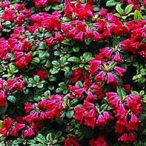 'Scarlet Wonder' (Rhododendron 'Scarlet Wonder') - C 2,0 20-25 cm.